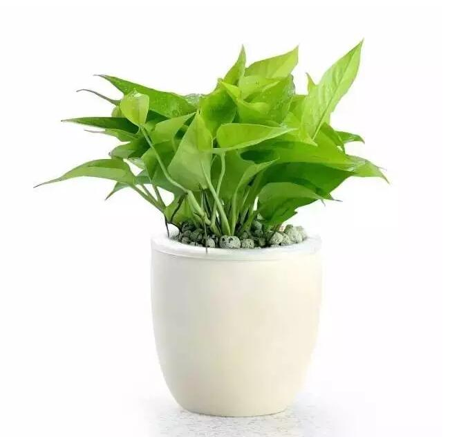新房装修:史上最全的吸毒植物 ·除甲醛必备